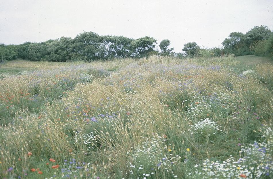 Wildflowers near Ventnor's Botanic Gardens