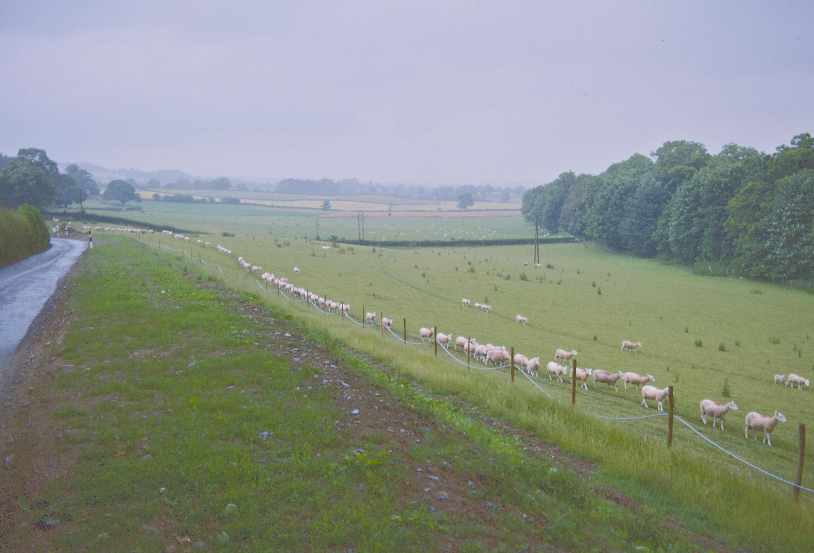 Sheep in transition near the Chirk Castle gates